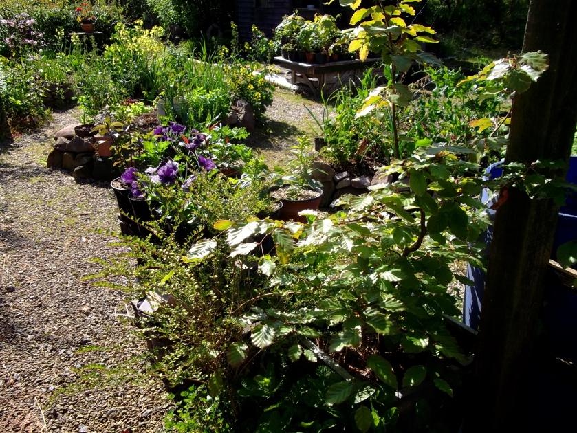 Potager garden at Bealtaine Cottage June 2013