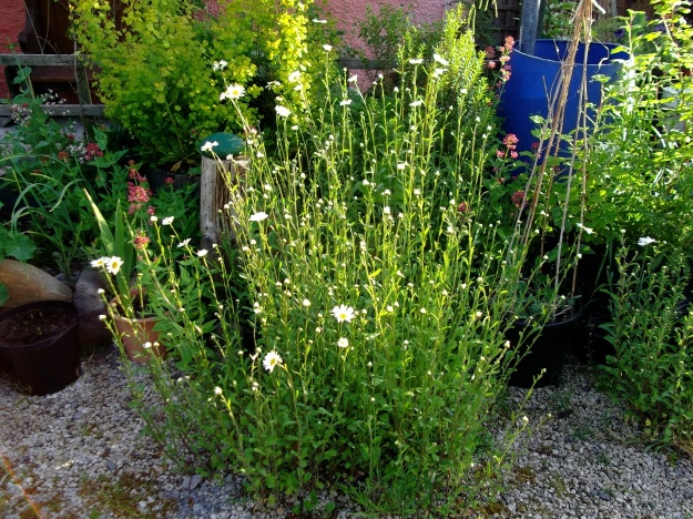 Ox-Eye daisies in the garden at Bealtaine Cottage