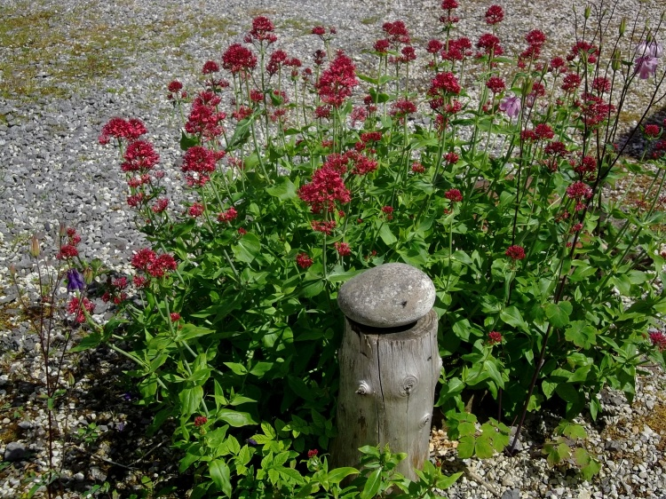 Valerian at Bealtaine Cottage