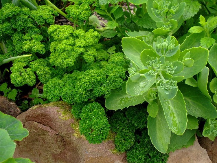 Sedum for the bees, Parsley for me!