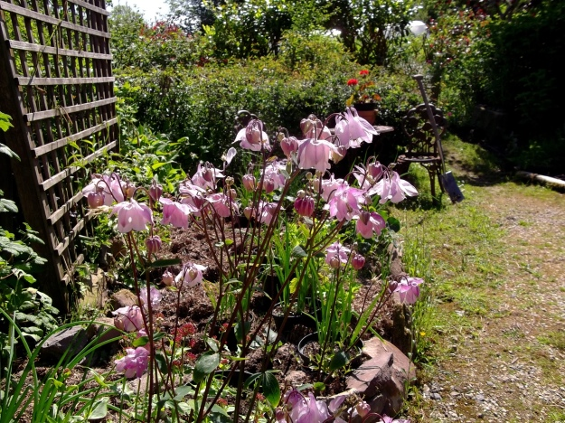Columbine at Bealtaine Cottage