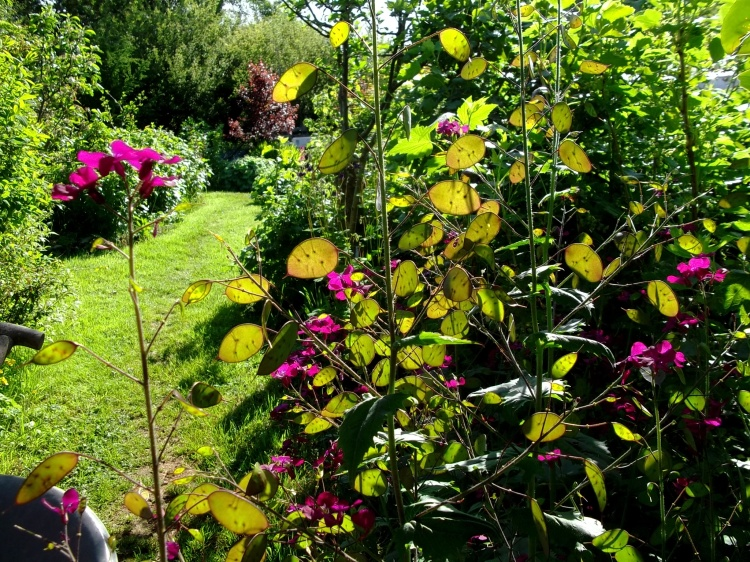 Lunaria in early June 2013 at Bealtaine Cottage