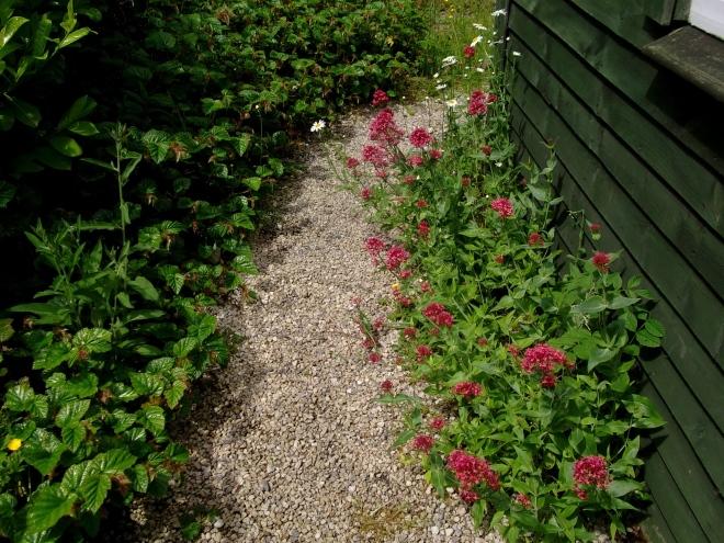 Valerian and Rubus edge a path