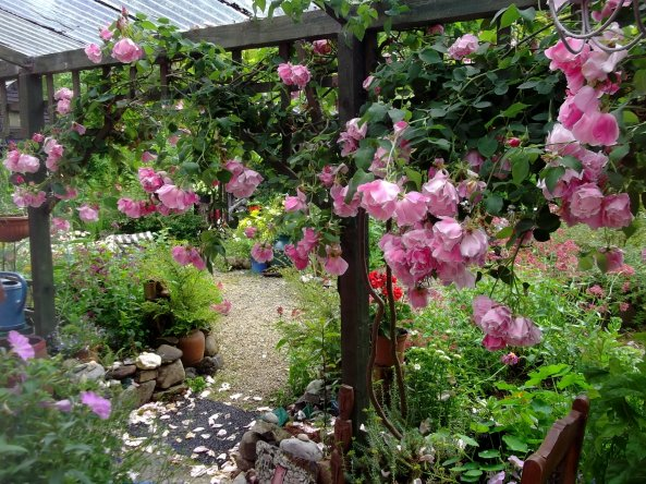 Roses on veranda at bealtaine cottage today