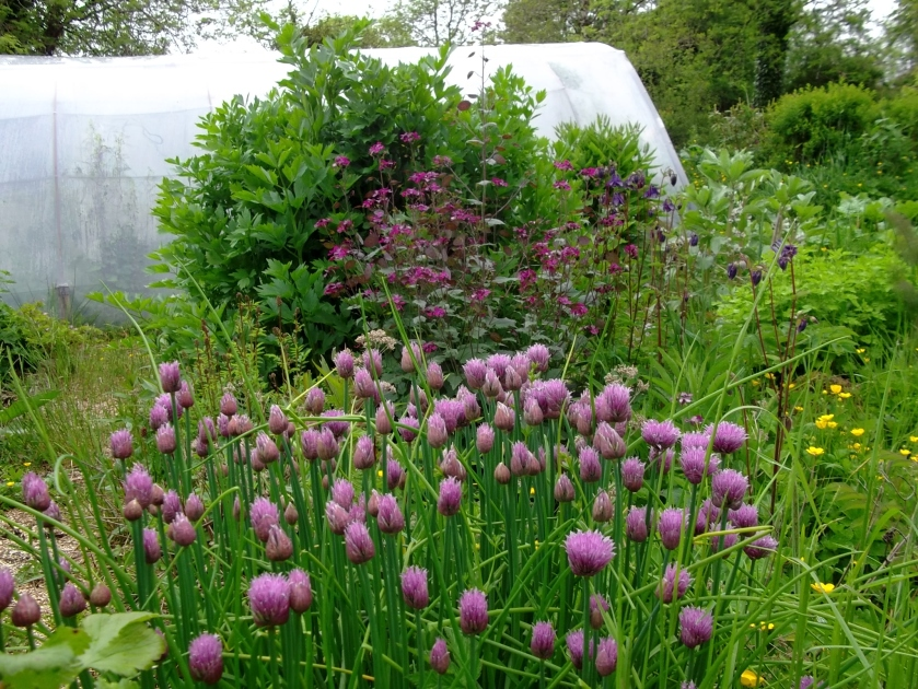 Chives, Honesty and Lovage in the permaculture gardens of  Bealtaine Cottage