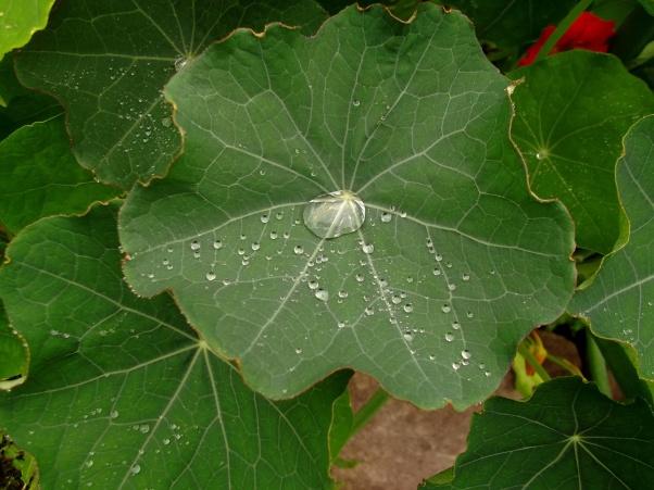 Rain on Nasturtium leaves