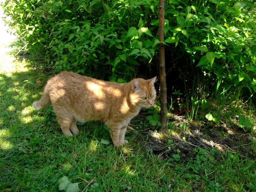 Missy Cat at Bealtaine cottage June 2013
