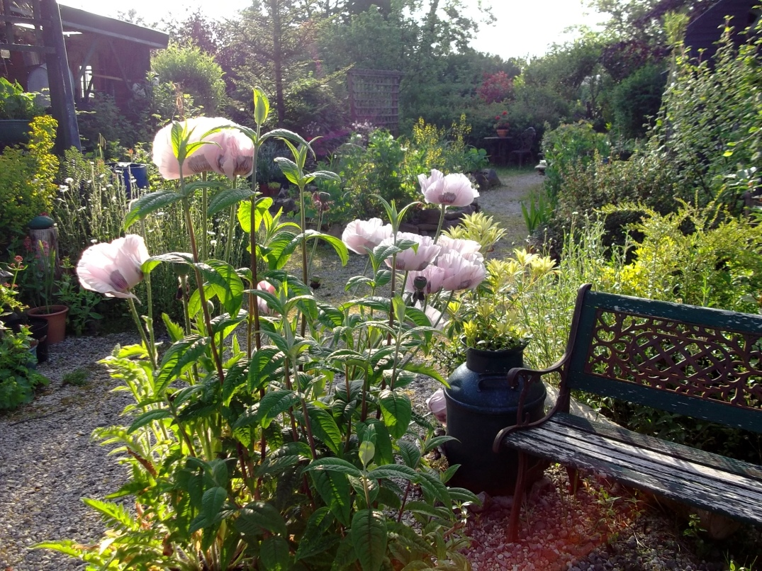 Poppies in Permaculture