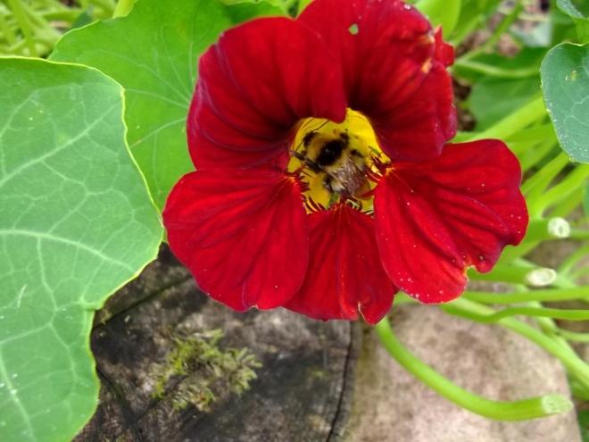 Bee on Nasturtium flower at Bealtaine Cottage