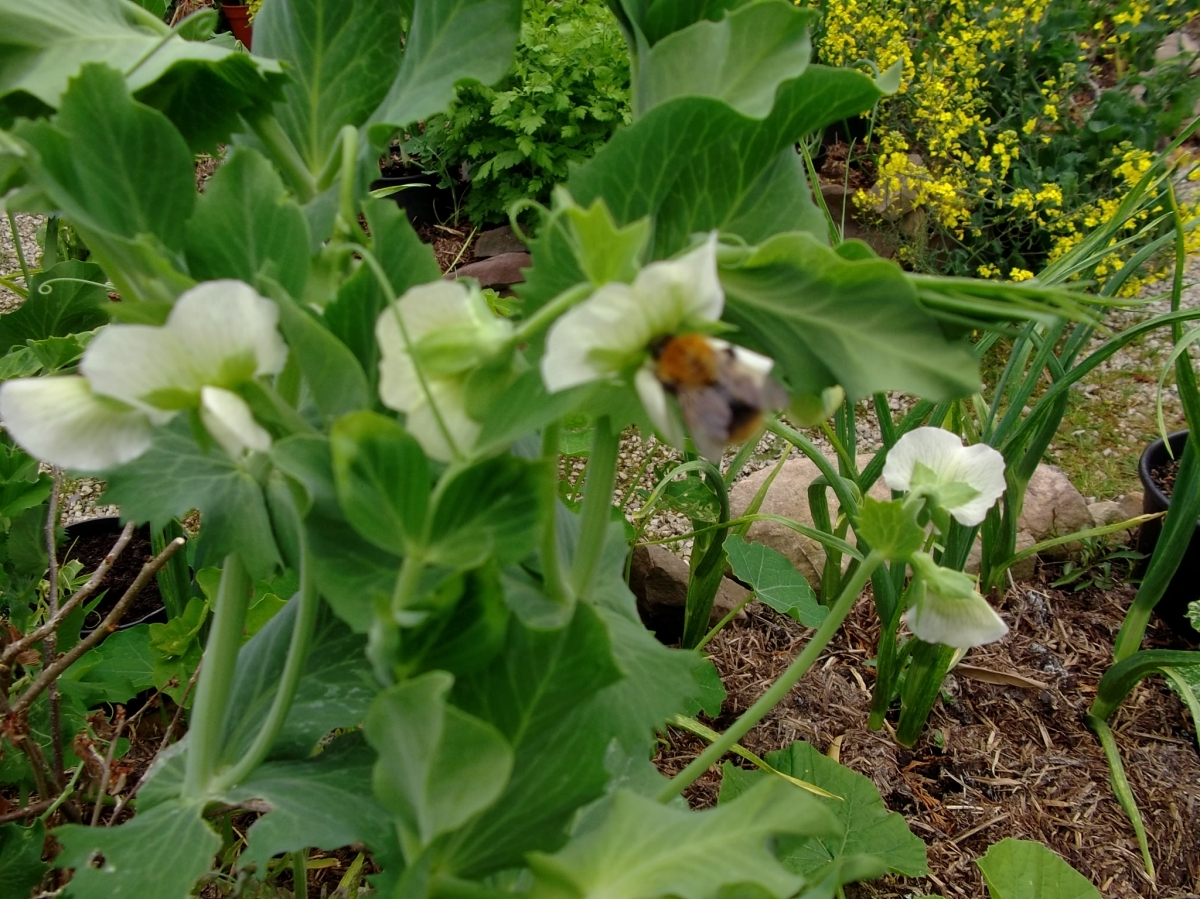 Peas and Bees at Bealtaine Cottage