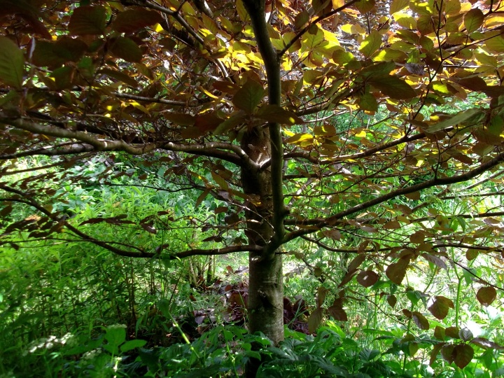 Copper Beech at Bealtaine Cottage