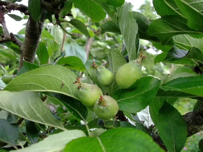 Apples growing in the permaculture gardens of Bealtaine Cottage