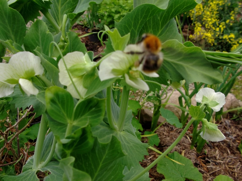 bees and peas at bealtaine cottage