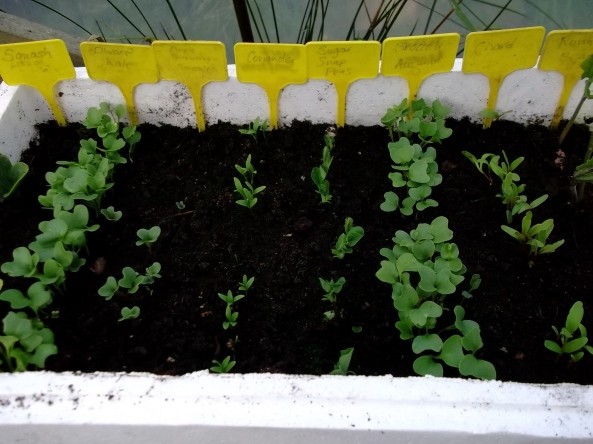 growing seeds at Bealtaine
