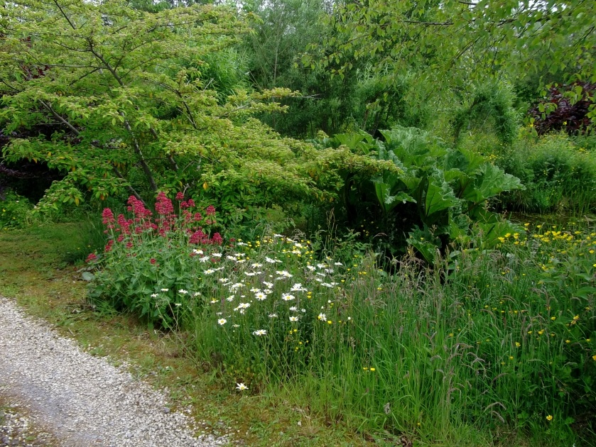 Valerian and Ox-eye daisies on the driveway at bealtaine Cottage