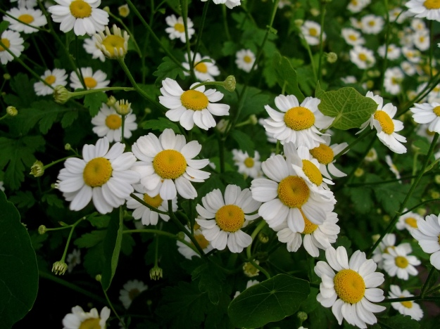 Feverfew at Bealtaine
