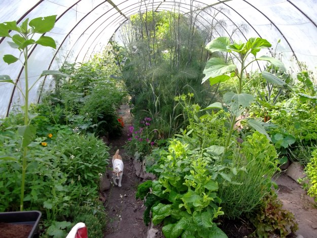 Polytunnel this morning at Bealtaine Cottage with Che Mousy Bear strolling through!