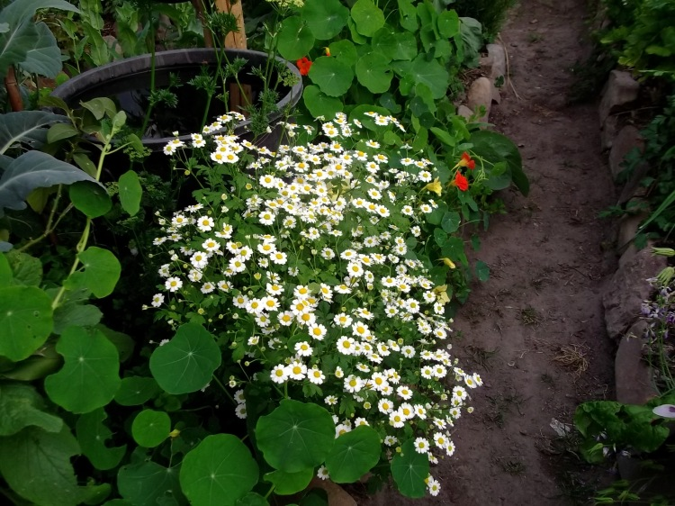 Feverfew at Bealtaine Cottage