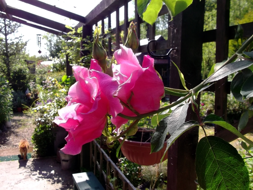 Roses on the verand at Bealtaine Cottage