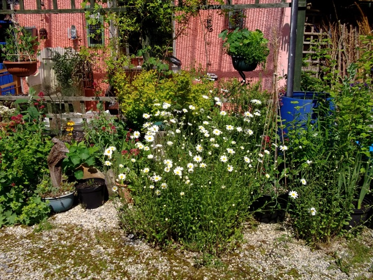 Ox-eye daisies in bloom today at Bealtaine Cottage