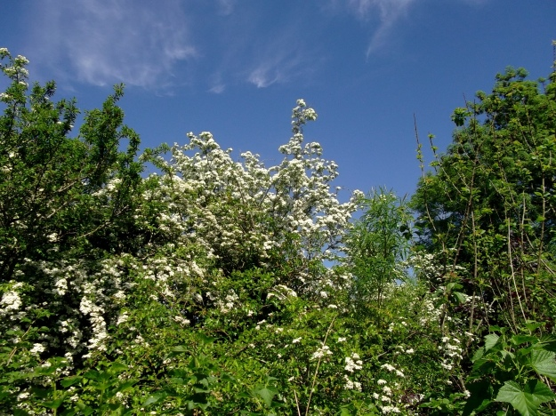 May blossom at Bealtaine Cottage