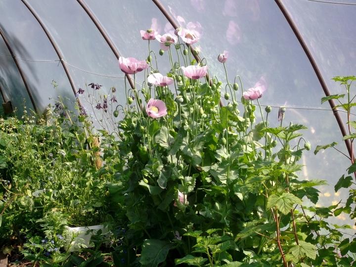 Poppies self seed everywhere