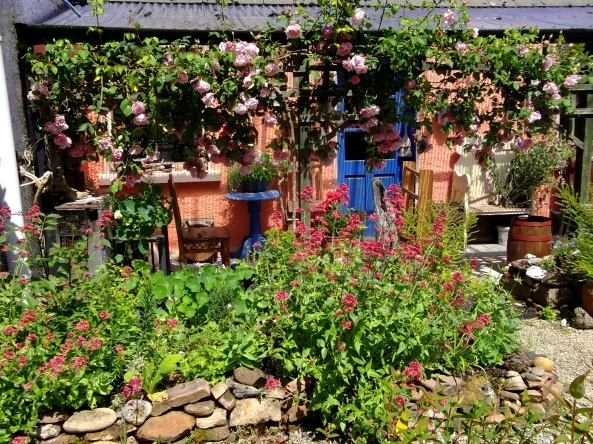 Roses at the back of Bealtaine Cottage today