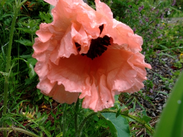Poppy at bealtaine cottage