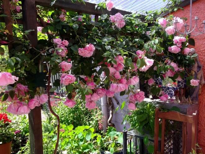 Roses today at Bealtaine Cottage
