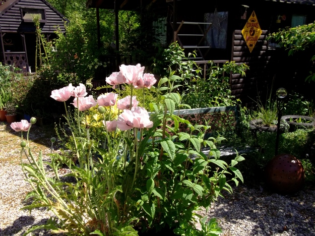 poppies at Bealtaine Cottage