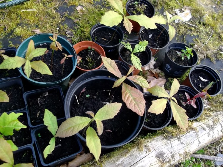 Oak seedlings growing at Bealtaine