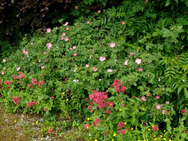 Wild roses and Valerian at Bealtaine Cottage