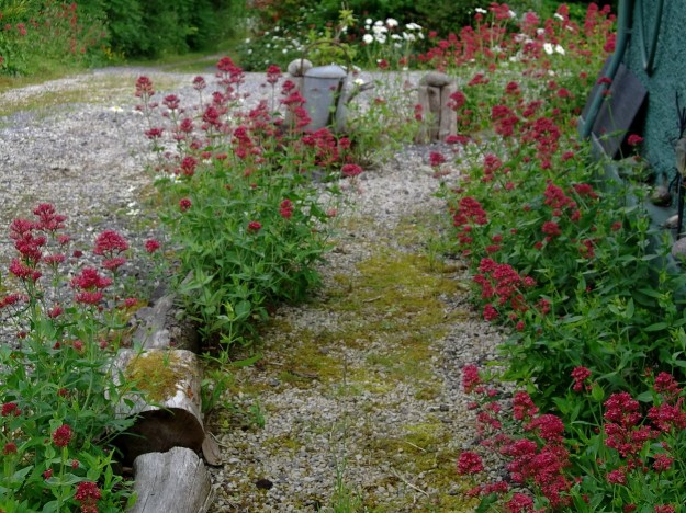 Valerian this morning around the cottage