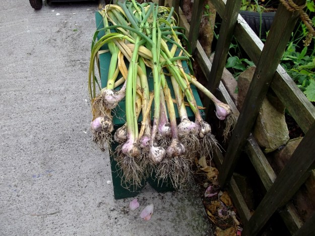 garlic harvest at bealtaine cottage permaculture
