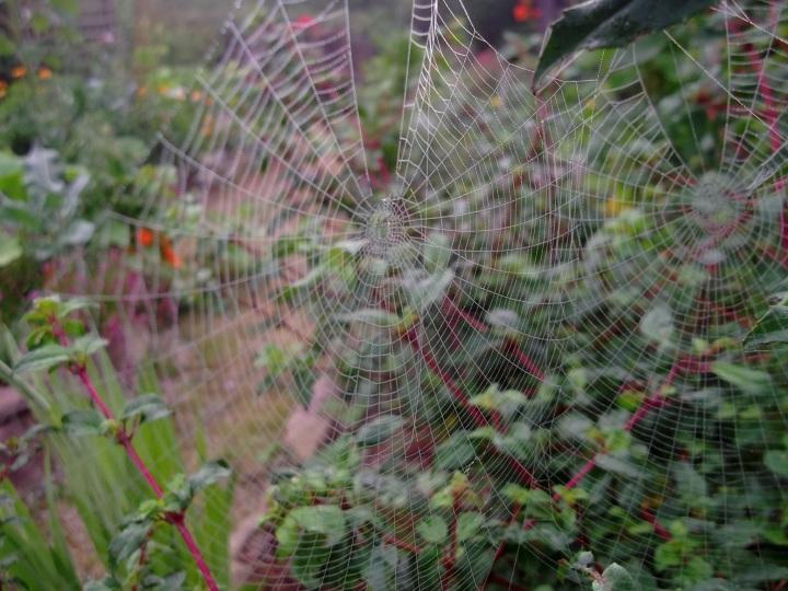 Cobwebs on Fuschia