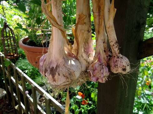 Drying Garlic at Bealtaine Cottage