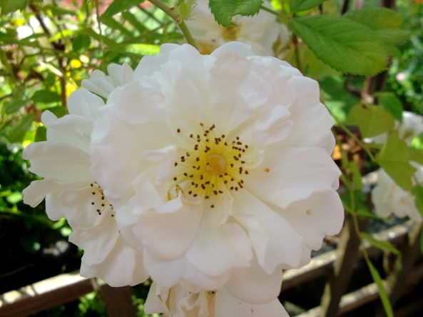 Roses open at Bealtaine Cottage today