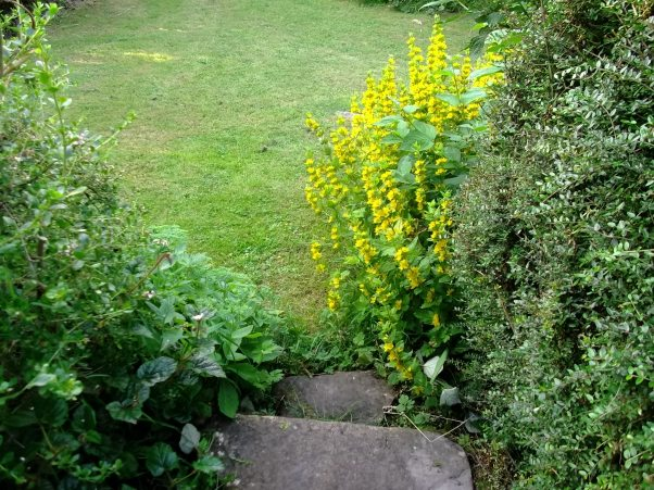 Lysimachia Punctata and stone steps