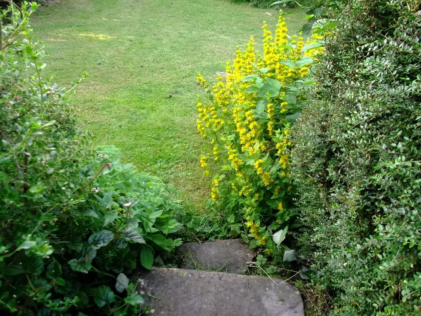 Lysimachia Punctata and stone steps