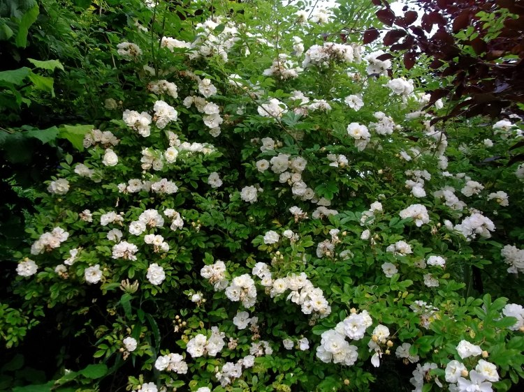 Rambling Roses at Bealtaine Cottage