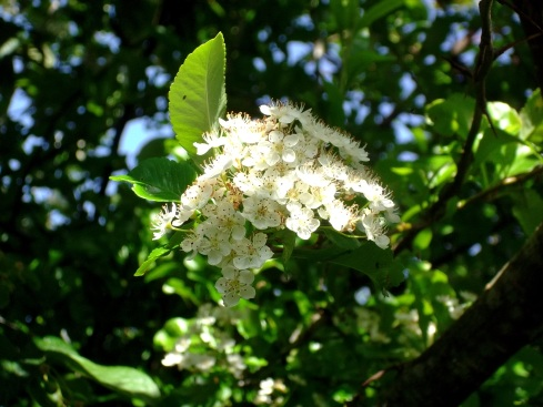 Pyracantha in flower today in the permaculture gardens