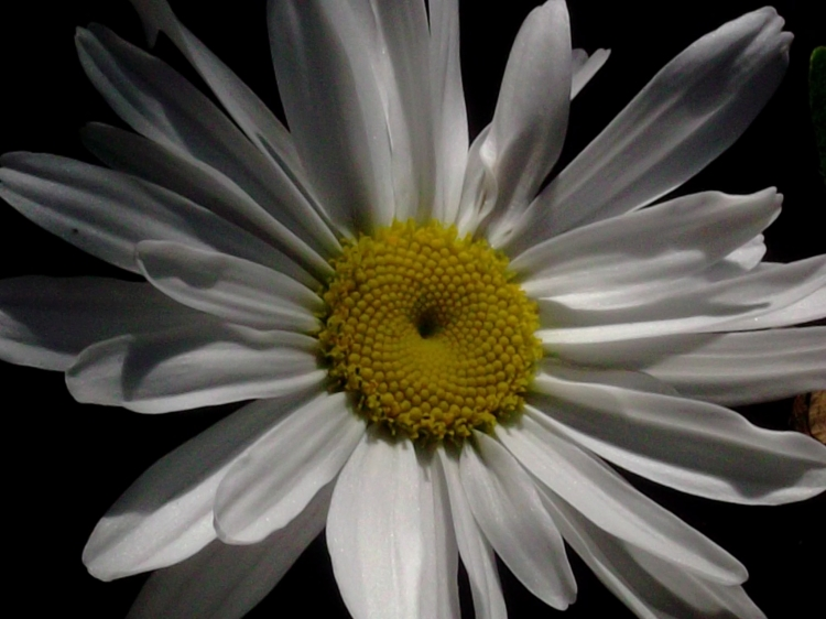Shasta daisy at Bealtaine Cottage