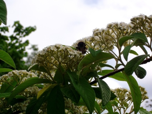Bee on cotoneaster at Bealtaine Cottage