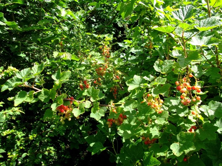 Redcurrants today at Bealtaine Cottage