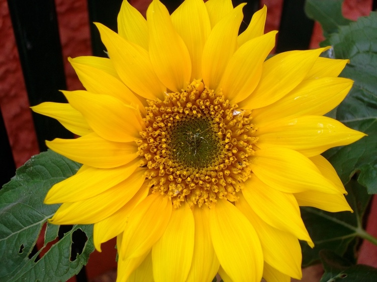 The first sunflower opens at Bealtaine Cottage