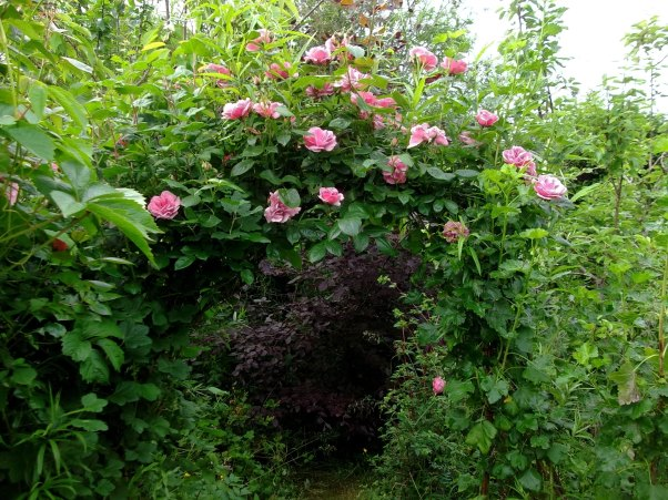 Rose arch today at Bealtaine Cottage