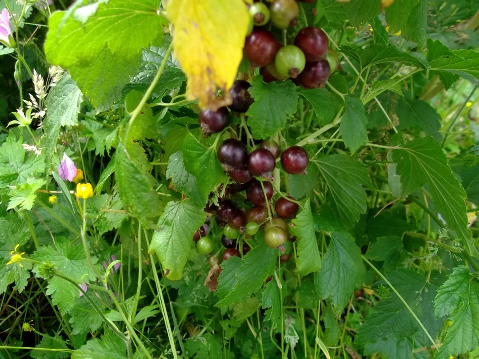Blackcurrants almost ready for picking