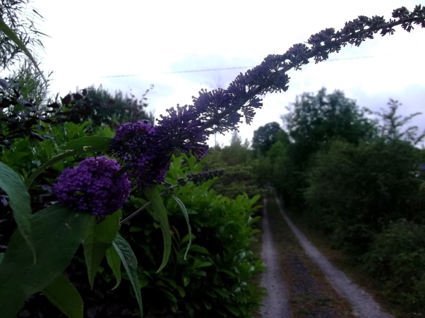 Buddleia on the gravel drive