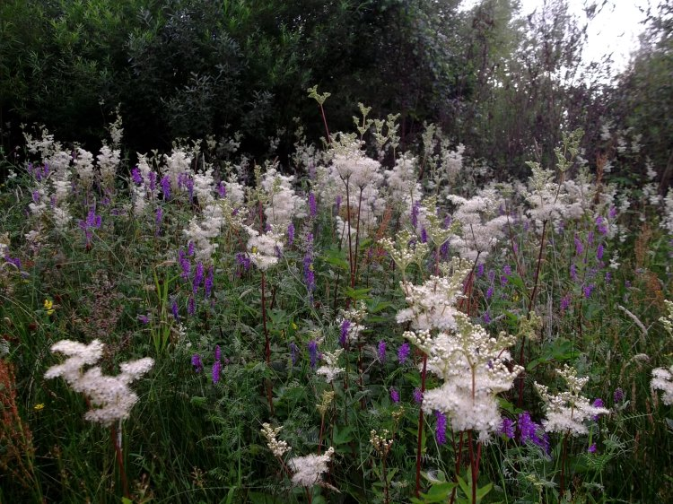 Meadowsweet and Vetch in the Bog Gardens of Bealtaine Cottage today