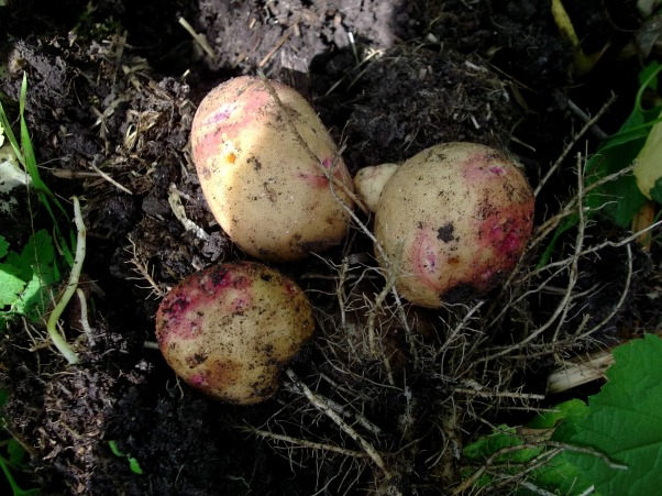 potato harvest at Bealtaine Cottage